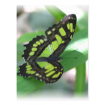 Green Butterfly Postcard