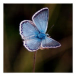 Small Blue Butterfly Poster Print